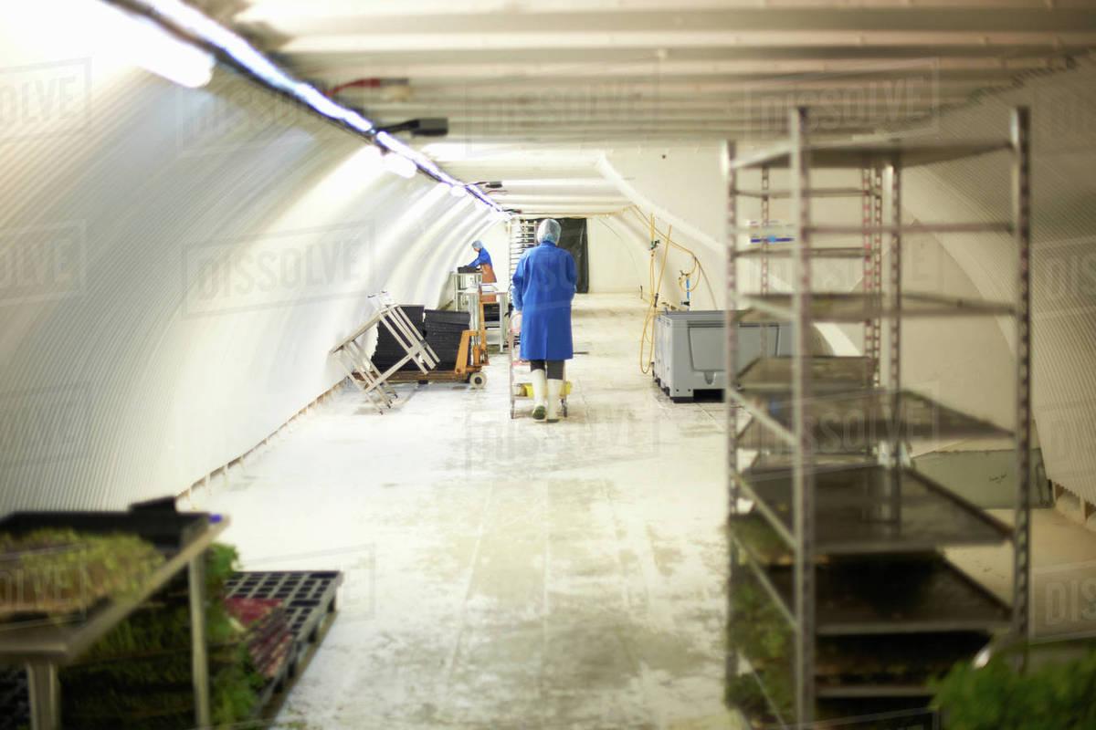 Workers preparing micro greens in underground tunnel nursery, London, UK  stock photo