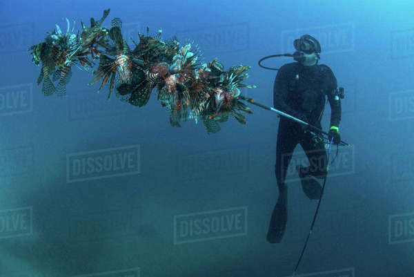 Diver collects invasive lionfish from local reef Royalty-free stock photo