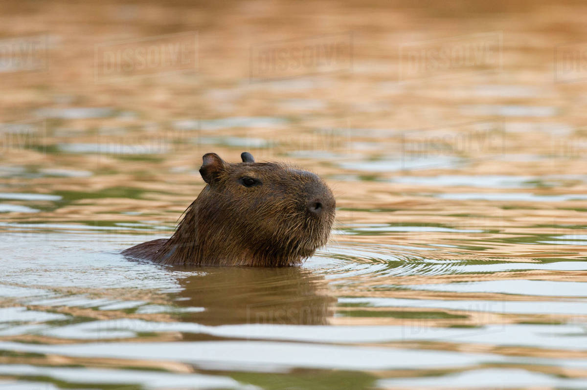 Capybara (Hydrochaeris hydrochaeris) swimming in Cuiaba ...