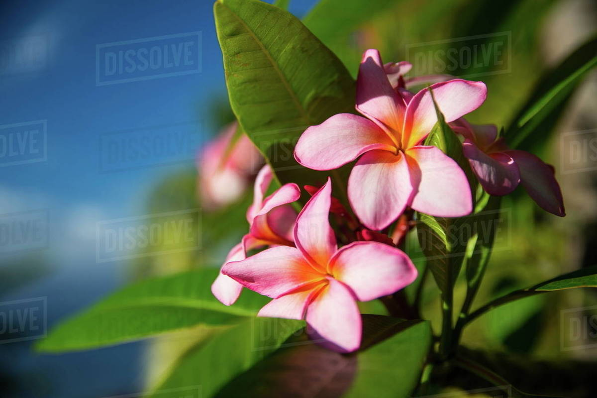 Close Up Of Tropical Pink Flowers Reunion Island Stock Photo