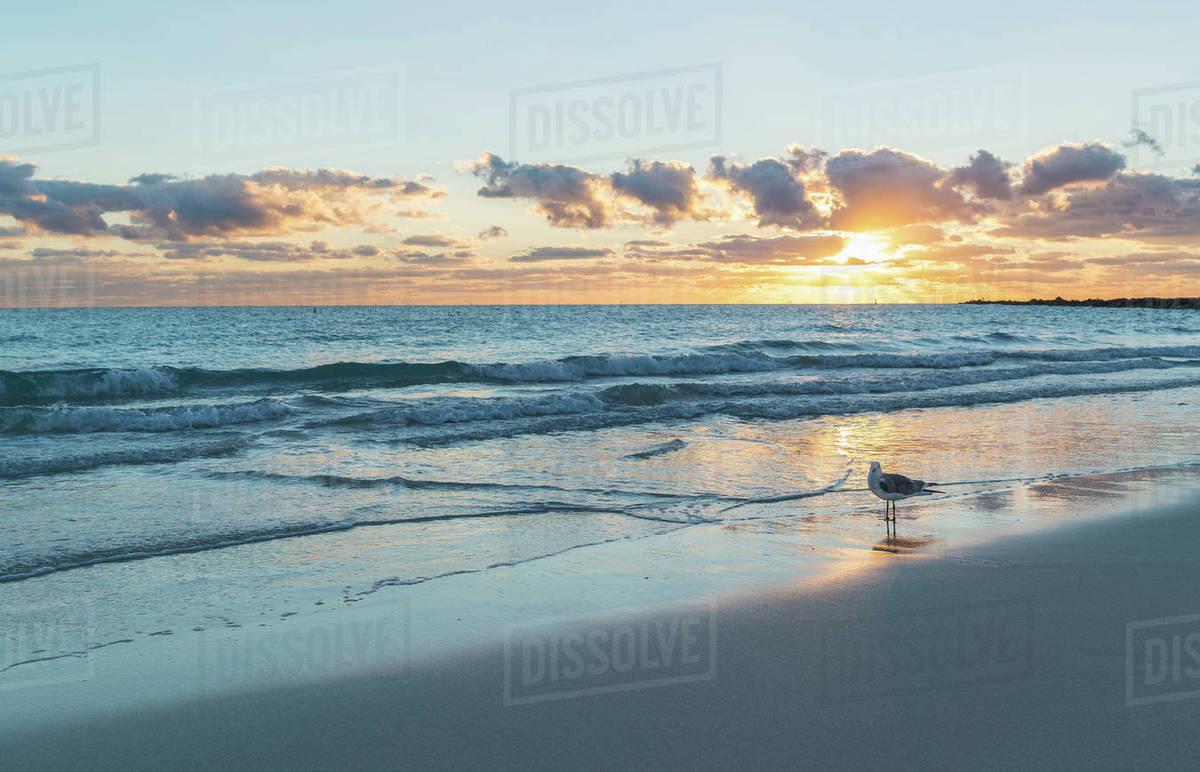 Seagull On Miami Beach At Sunrise Florida Usa Stock Photo Dissolve