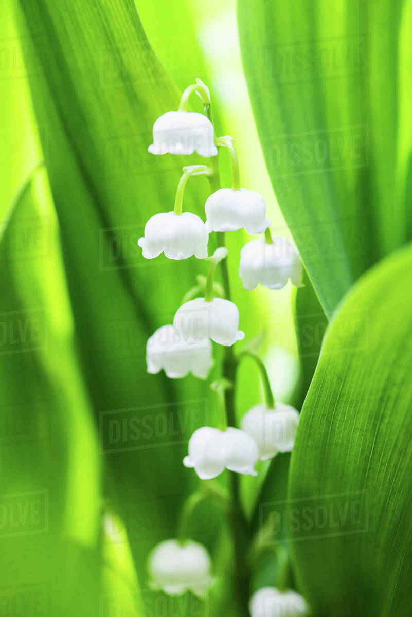 Lily Of The Valley Flowers Close Up Stock Photo Dissolve