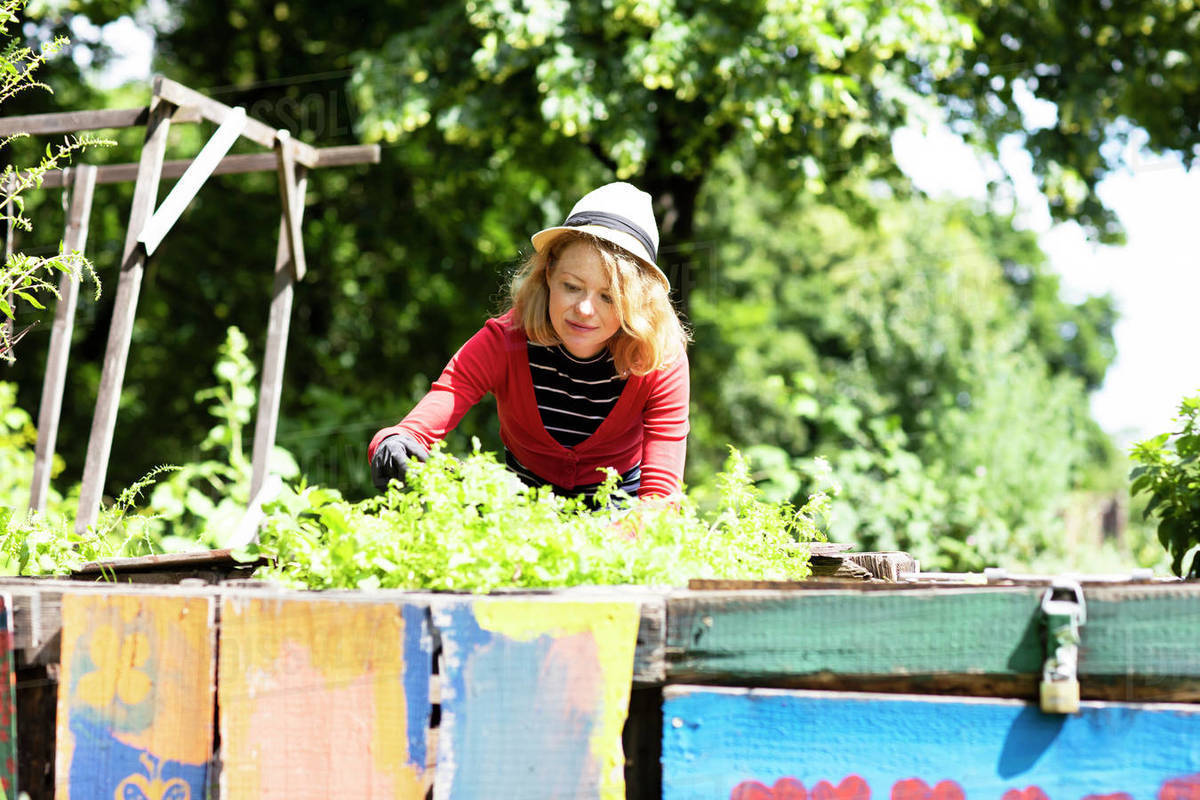 Mid adult woman tending plants in raised bed in garden, selective focus Royalty-free stock photo