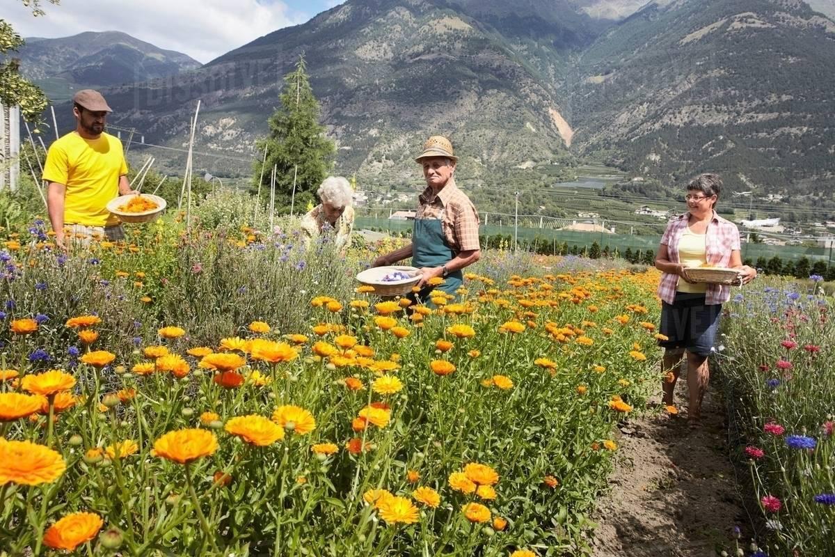 Older People Picking Flowers In Field Stock Photo Dissolve