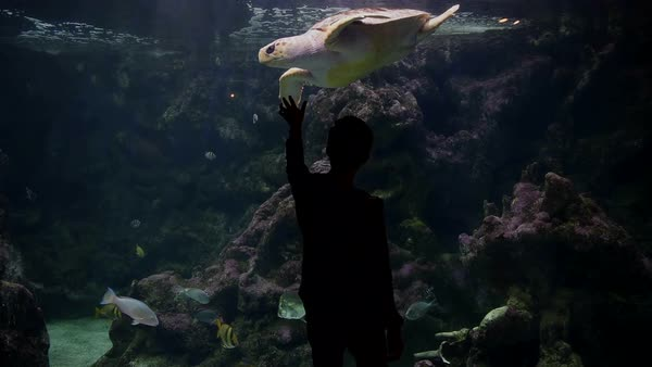 Silhouette of teenage boy looking Turtle swimming in an aquarium Royalty-free stock video
