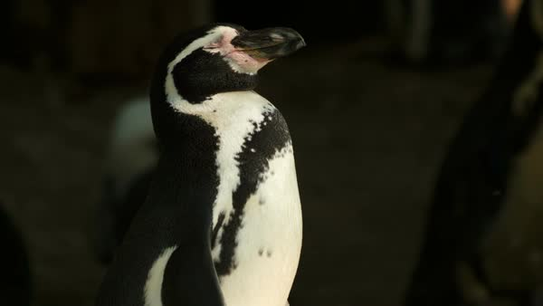 An ultra close-up shot of a solo penguin basking in the sun Royalty-free stock video