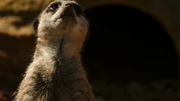 A close-up shot of a solo meerkat staring in all directions Royalty-free stock video