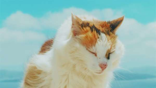 Close-up shot of a beautiful white and yellow cat set against a blue sky background Royalty-free stock video
