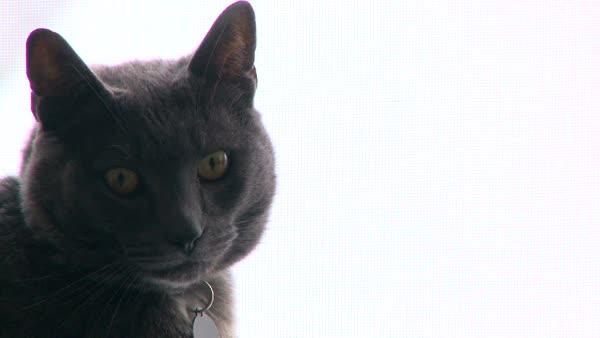 Curious grey house cat looks at camera. Royalty-free stock video