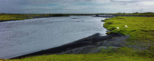 Sheep grazing at water's edge in rural landscape, Iceland Royalty-free stock photo
