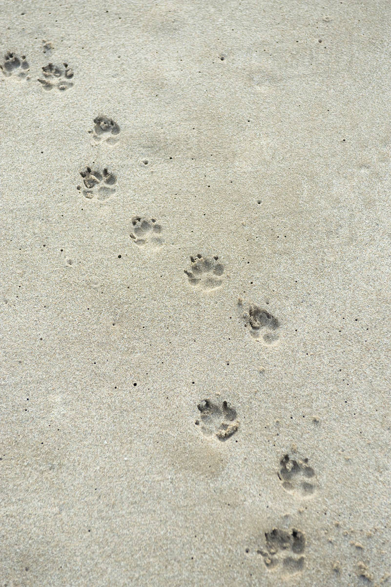 3e146ae72 Paw prints on sand - Stock Photo - Dissolve