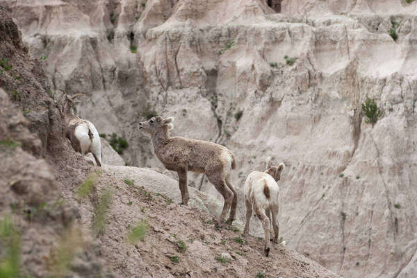Young bighorn sheep, Badlands National Park, South Dakota USA Royalty-free stock photo