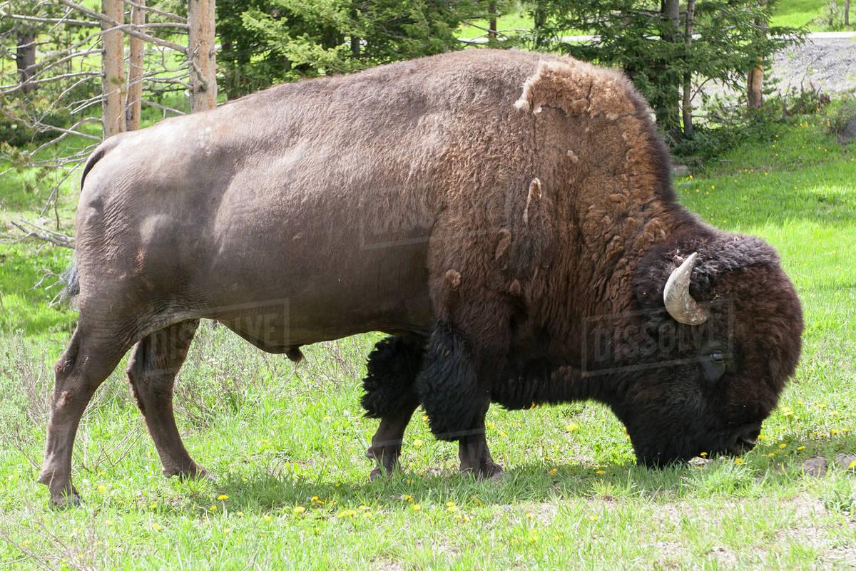 Bison Buffalo Portrait Free Stock Photo - Public Domain