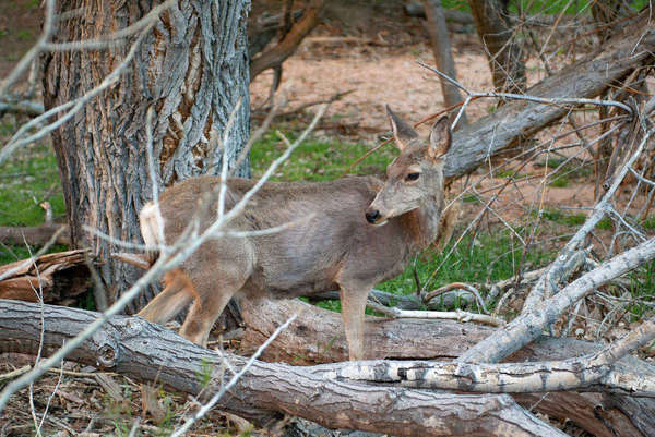 Deer in Zion National Park, Utah, USA Royalty-free stock photo