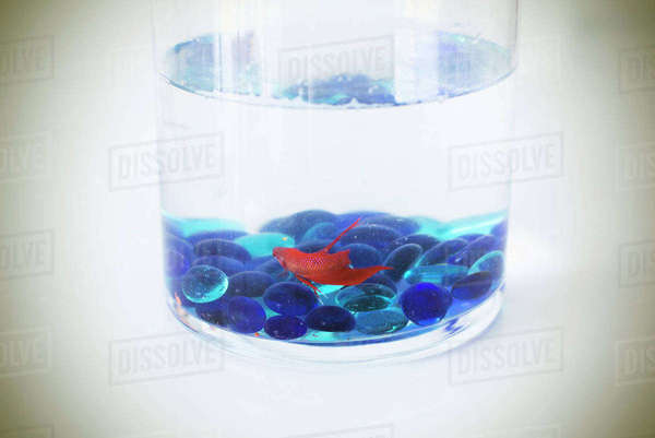 Pet fish Royalty-free stock photo