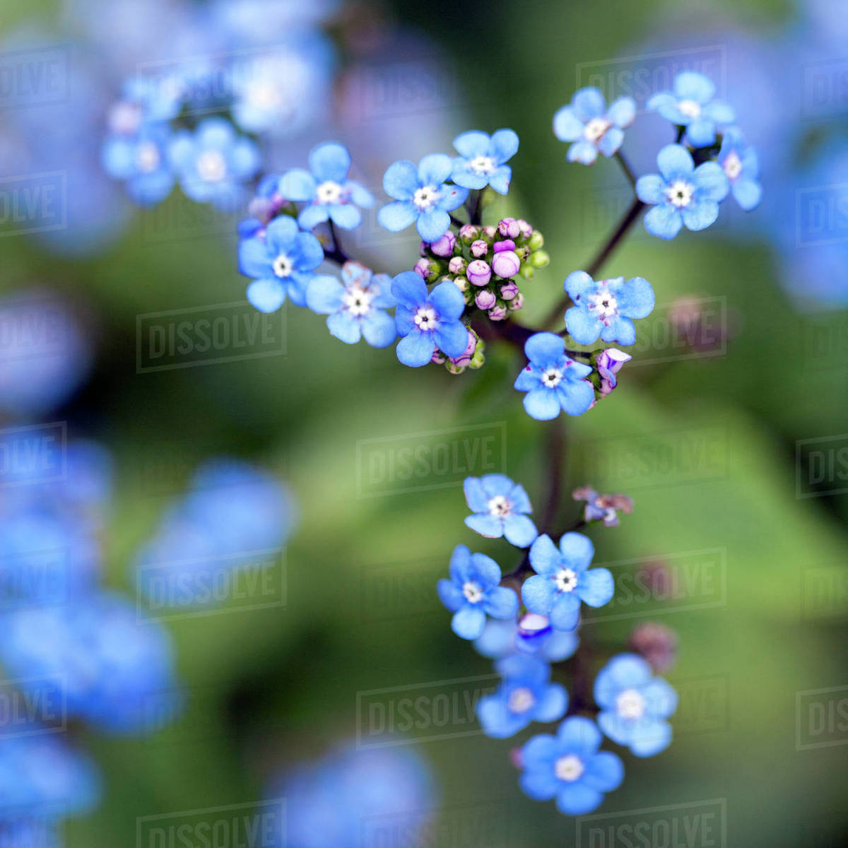 Close Up Of Tiny Blue Forget Me Not Flowers On Branch Stock Photo