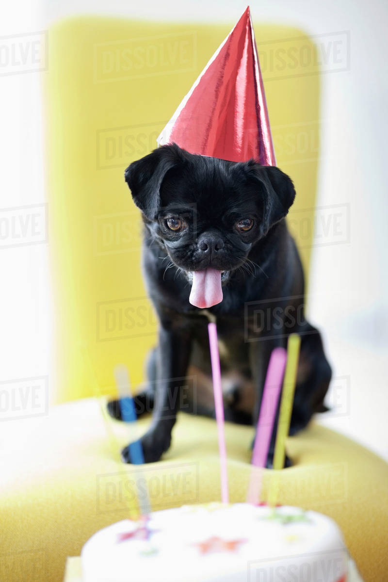 Dog In Party Hat Examining Birthday Cake