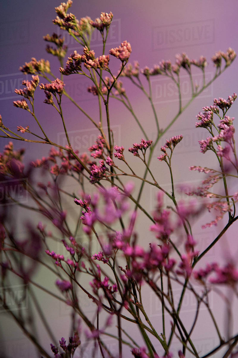 A Bunch Of Pink Statice Limonium Against A Pastel Background