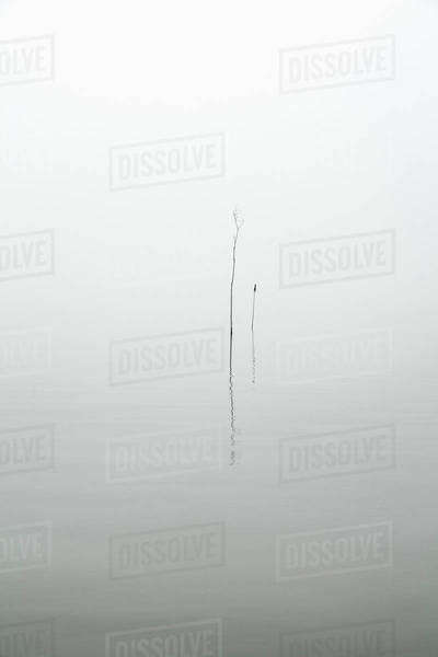 Plants in lake during foggy weather Royalty-free stock photo