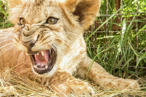 Close-up of lion cub roaring Royalty-free stock photo