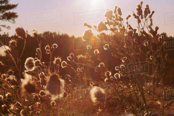 Plants growing on field during sunset Royalty-free stock photo
