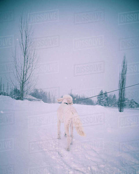 Rear view of poodle walking in snowy landscape Royalty-free stock photo