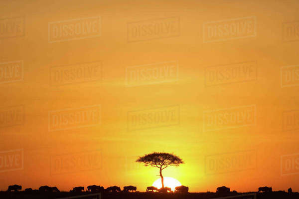 Herd of wildebeest in field against dramatic sky during sunset, Kenya Royalty-free stock photo