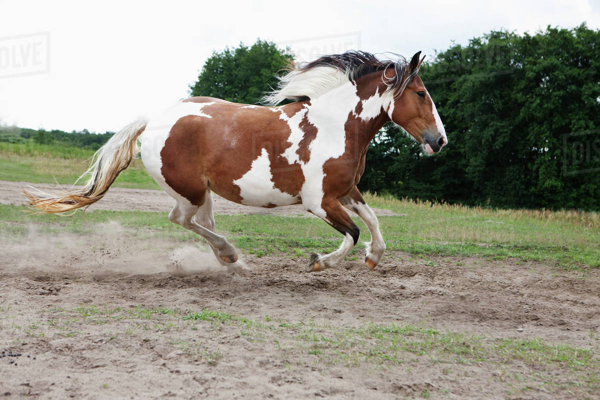 Brown And White Horse Running In Rural Field Stock Photo Dissolve