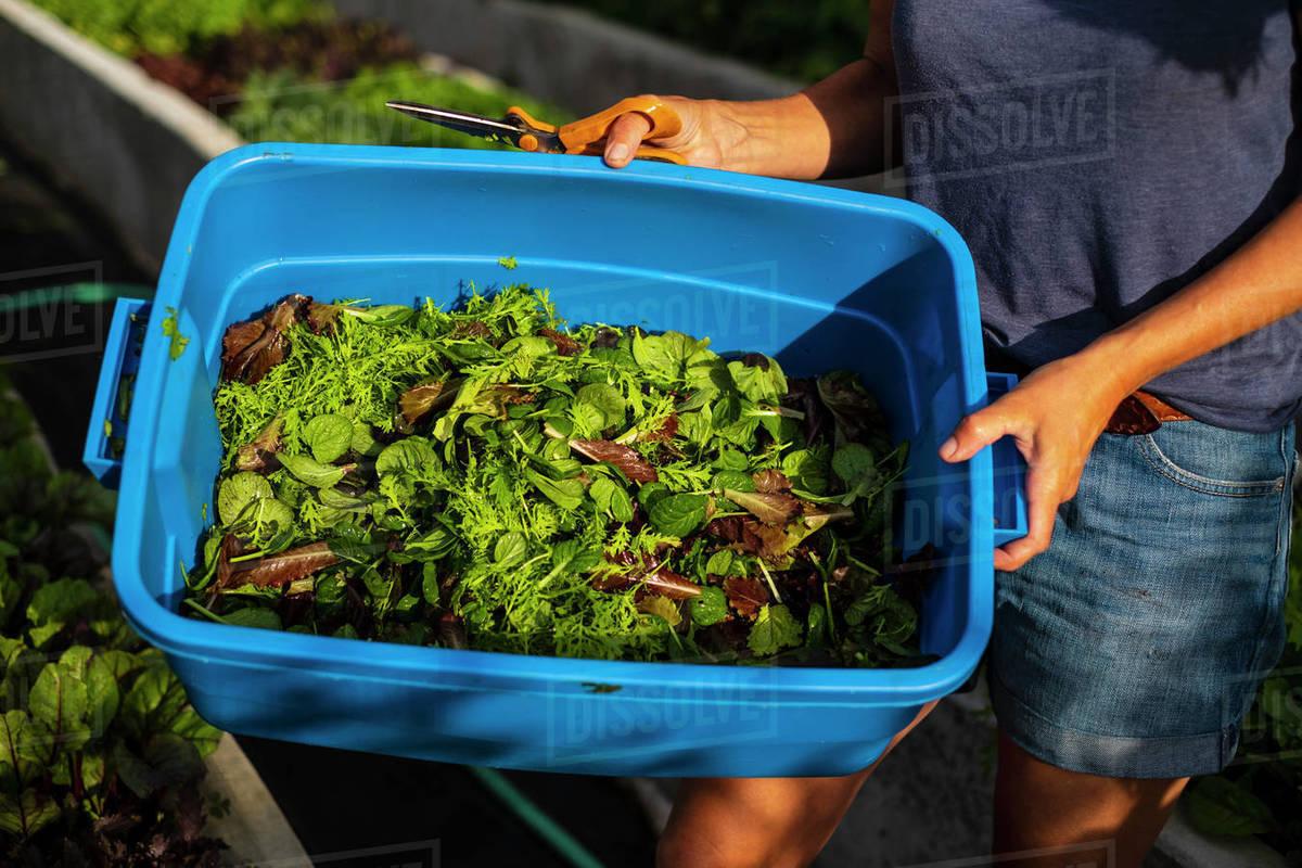 Farmer harvesting fresh salad greens in bin Royalty-free stock photo
