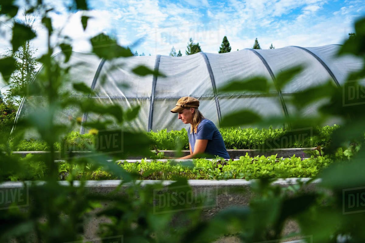 Female farmer tending to vegetable plants outside greenhouse Royalty-free stock photo