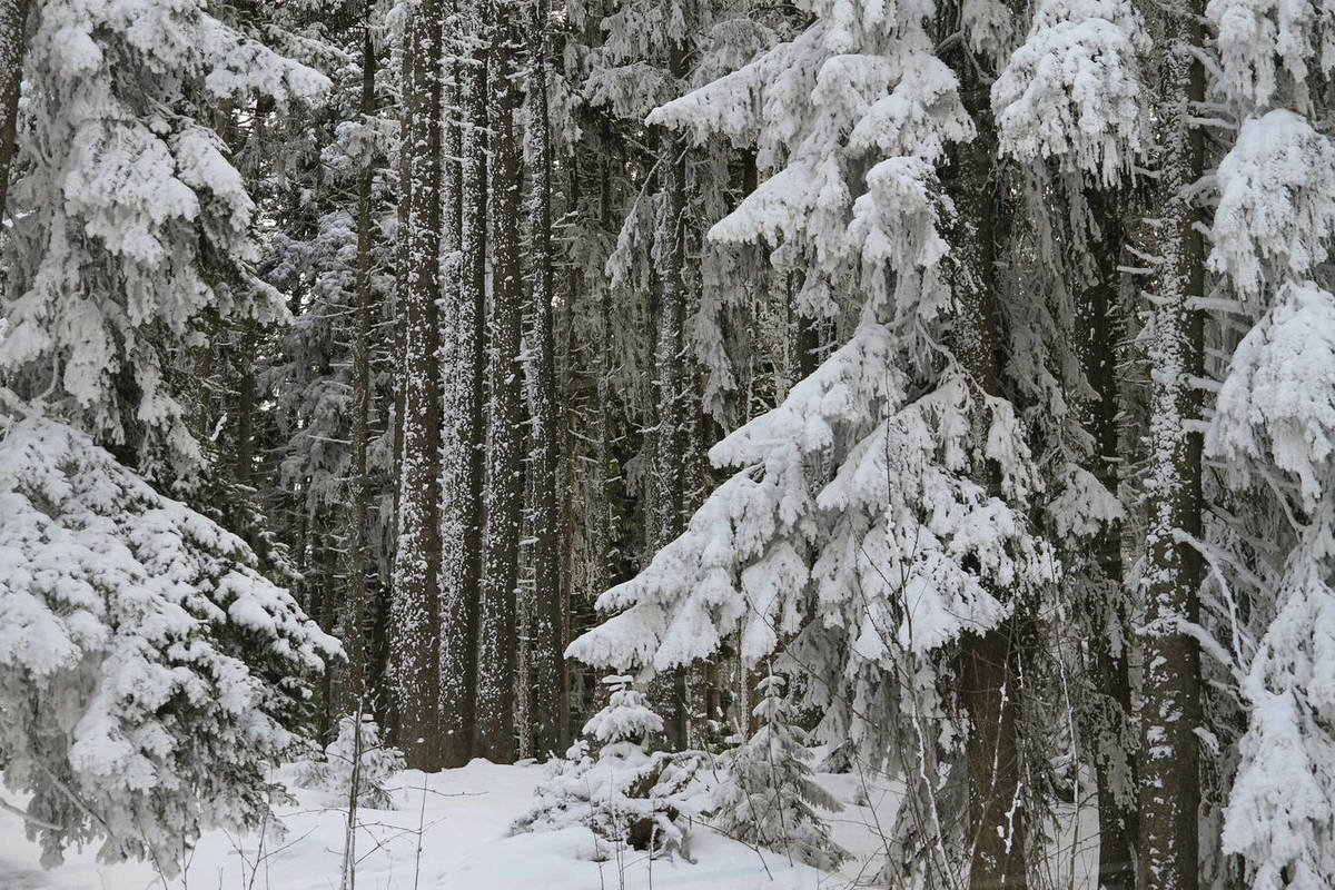 Snow covered trees in forest Royalty-free stock photo